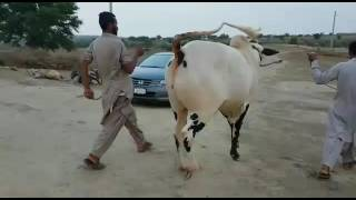 Beautiful Active Bull Walks Like Horse by Bin Chiragh Cattle Farm for Qurbani at Eid ul Adha