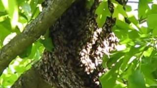 Honey Bees - Colony Split - Texas Bee Removal