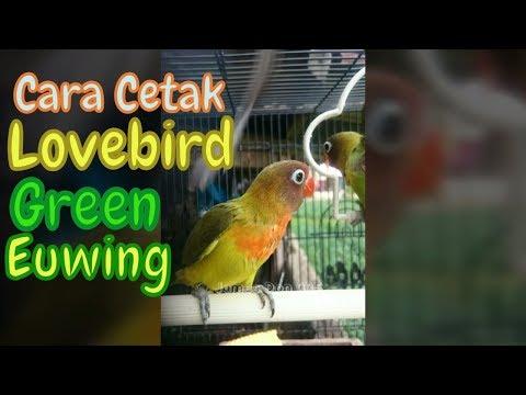 Cara Menghasilkan Lovebird Green Euwing | Dari Induk Pastel Euwing X Green Olive