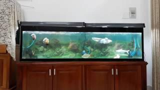 Hồ cá ăn thịt nuôi chung ngân long tai tượng châu phi la hán