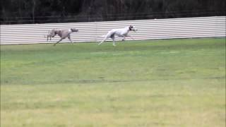 2016 NCA of Victoria Waterloo Cup greyhound race