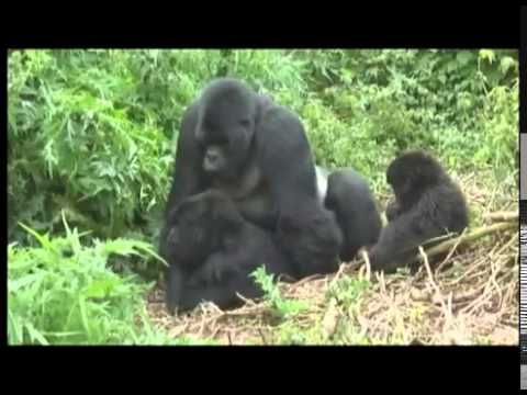 Gorillas mating footage Rwanda World Primate Safaris