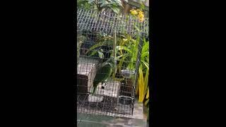 Parrot singing Sia