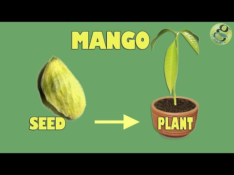 Xxx Mp4 Mango Seed Germination Easily Grow Mango Tree From Seed With Time Lapse And Result 3gp Sex