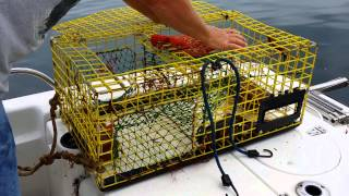 How a Lobster trap works