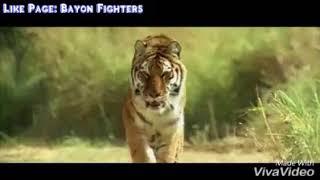 KAAL - Best Tiger Scenes (Watch Video)