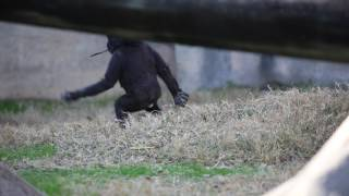 New baby gorilla Gus plays at the Fort Worth Zoo