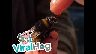 Rescuing a Bumble Bee || ViralHog