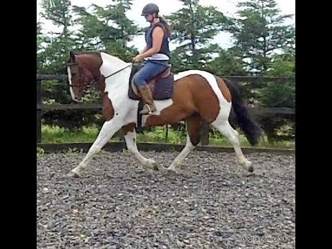 Xxx Mp4 XXXXX Dutch Warmblood X TB 6yrs Coloured Gelding 3gp Sex