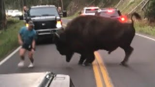 Bison Walks Away After Tourist Taunts Animal at Yellowstone National Park