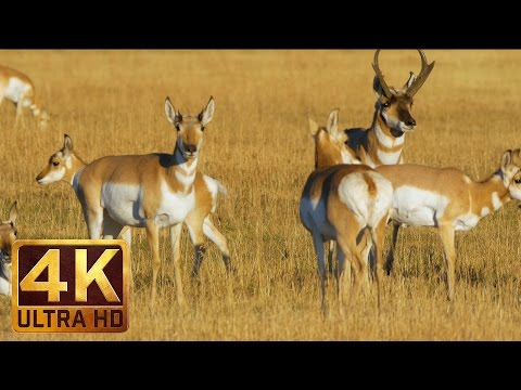 Xxx Mp4 Animals Of Grand Teton National Park In 4K Ultra HD 1 HR Nature Video With Natural Sounds 3gp Sex