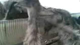 EMU Farm in Bakrol(ANAND).mp4.3gp