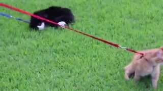 Lazy cat does not want to walk