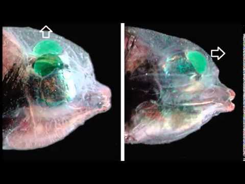 Macropinna microstoma. Cabeza transparente y ojos tubulares