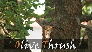 Olive Thrush Bird Call | Garden Birding | Stories Of The Kruger