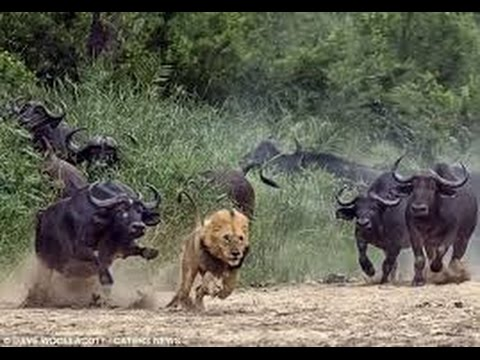 Dangerous Cape Buffalo Black Death attacks & kills Lions