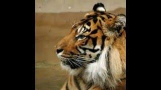 Royal Bangol Tiger রয়েল বেঙ্গল টাইগার
