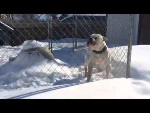 How to run a dog kennel & Stud your dog American bull dogs
