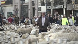 Thousands of sheep take over Madrid streets
