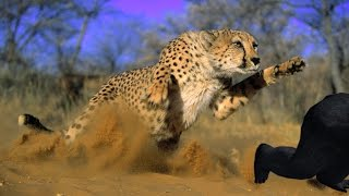 Most Amazing Wild Animal Attacks cheetah  lion, tiger, anaconda, deer, Crocodile Hd