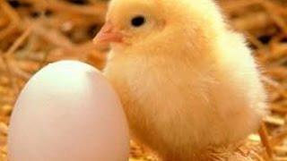 أخيرا وجد حل ( للغز أيهما جاء أولًا البيضة أم الدجاجة)