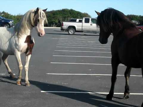 Horse Fight in Assateague MD