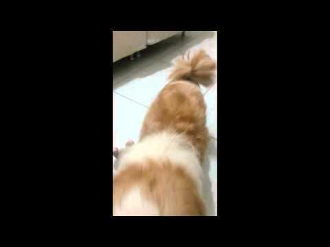 O cachorro que deu o cú na botinha
