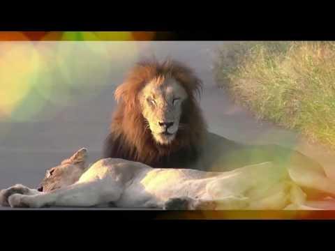 lion romantic  ll lion romantic video ll lion ll animal natural ll animal happy ll  2017