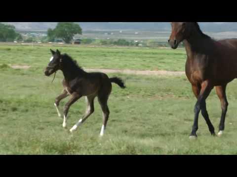 Blue Hors St Schufro / Franziskus colt 12 days old