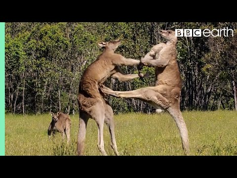 Kangaroo Boxing Fight   Life Story   BBC