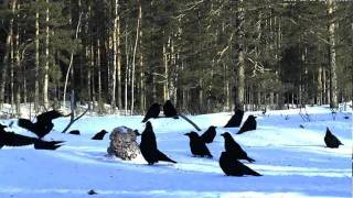 Rókák a téli ragadozómadár etetőnél