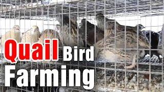 Techniques in Quail bird farming by Prof Hanumantha Rao - Sagubadi (20-01-2015)