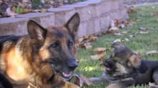 Best Dog Training Video Ever!  -  11 week old trained German Shepherd puppies!
