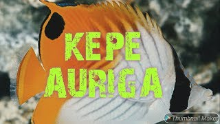 Memelihara Kepe Auriga / Auriga Butterflyfish (Chaetodon Auriga)