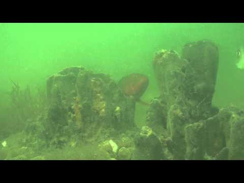 Under the Waves 4 - Tampa Bay Scuba Diving - Red Grouper, Black Sea bass, and Mangrove Snappers