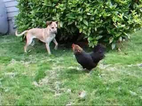 Xxx Mp4 Watch A Dog Fuck A Chicken Video Is Very Funny 3gp Sex