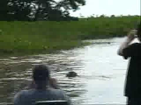 Ataque de onça no Pantanal de Mato Grosso
