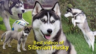 Best videos of Siberian Husky  Lihkku