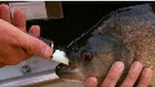 Piranha Bite Force | National Geographic