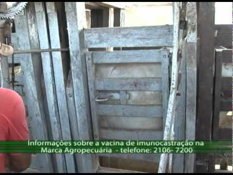 Programa Acre Rural Vacina para castração para bovinos