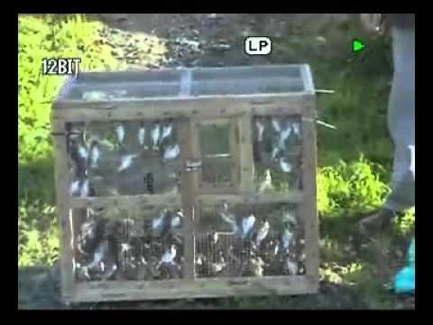 إطلاق الكثير من طائر الحسون بعد عملية صيد تقليدي