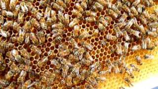 Found the queen bee!! Good video of her laying eggs...