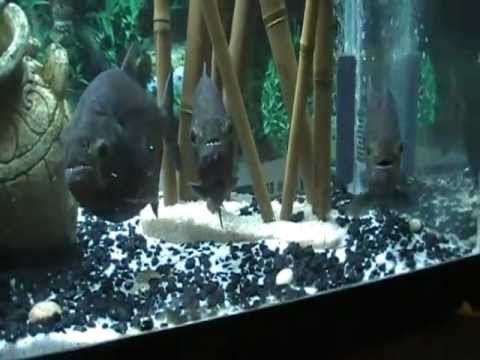 Xxx Mp4 Piranha Eggs 3gp Sex