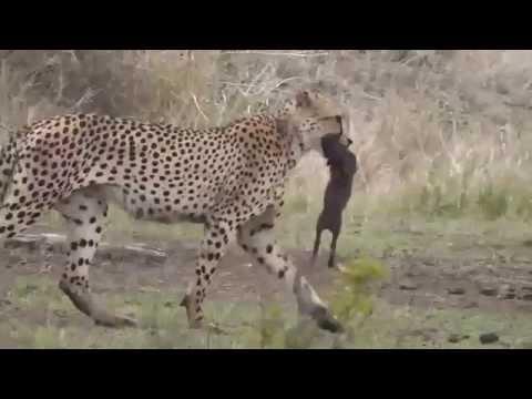 Two Cheetahs kill 2 wart hog babies