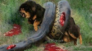 Giant anaconda vs Dog - pitbull Vs Snake fight - Giant anaconda attack - BIGGEST SNAKE – Gabel