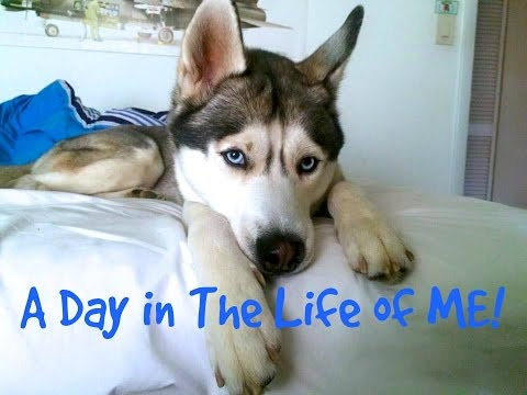 A Day in The Life Of A Husky Vlog Version