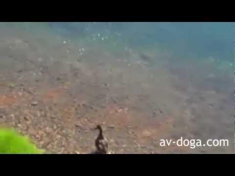 Balık Ördeği Yutuyor İnanılmaz Olay