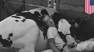 Boy and cow napping: Photo of Jeremy Miner and Audri the cow hitting the hay wins - TomoNews