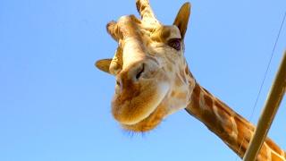 🍷 Giraffe Malibu Wine Safari!