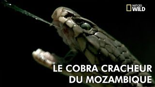 Le cobra cracheur du Mozambique